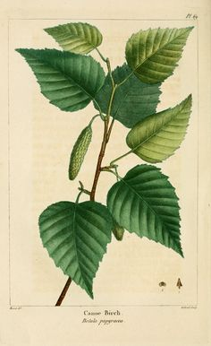 Betula papyrifera - Paper/Canoe/White Birch (SK)