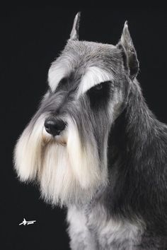 Ranked as one of the most popular dog breeds in the world, the Miniature Schnauzer is a cute little square faced furry coat. Schnauzer Mix, Schnauzer Grooming, Standard Schnauzer, Miniature Schnauzer Puppies, Pet Grooming, Schnauzers, Dog Haircuts, Most Popular Dog Breeds, Dog Breeds