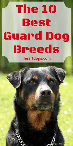 Http Iheartdogs Com The  Most Stubborn Dog Breeds