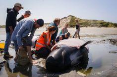 Golden Bay Whales - New Zeeland Credits - Ruth Borgjford