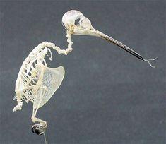 Hummingbird Skull & Skeleton, A lateral photo of a Ruby-throated Hummingbird skeleton prepared by Stanlee Miller of Clemson University.