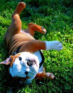 Stop. Stop. You are too cute. Please. #englishbulldog #breed #english #bulldogs #best #dogs #pets #animals #bulldog #cute #pooch #canine #puppy
