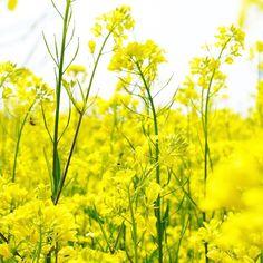 _  다시 되돌릴 수는 없는 걸까 _  #봄 #유채꽃 #꽃스타그램 #아산 #곡교천 #일상 #로지 #감성 #스냅 #풍경 #사진 #취미 #좋아요 #sony #a7 #daily #nature #flower #pic  #landscape #snap #photograph by _____agit