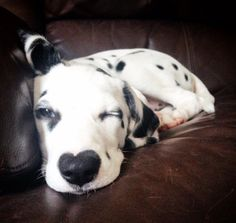 Kori, has a heart nose and is winking to his mommy. What a cute dalmatian puppy #dalmatian, #dalmatianpuppy #winking #boypuppy #cute