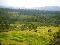 Rice fields :)
