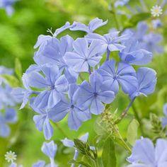 nice Mediterranean Plumbago auriculata Blue plant in 2L pot 70cm tall