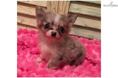 You'll love this Female Chihuahua puppy looking for a new home.