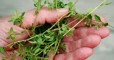 Thyme essential oil proven to be effective in killing 98% of breast cancer cells!