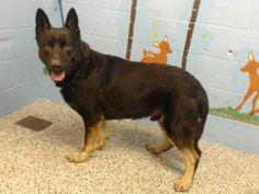 German Shepherd Dog dog for Adoption in San Bernardino, CA. ADN-458030 on PuppyFinder.com Gender: Male. Age: Adult
