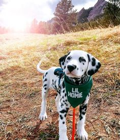 The Dalmatian is a beautiful dog breed that has various markings all over its body. This Dalmatian, named Wiley, is special however. Cute Dogs And Puppies, Baby Puppies, Baby Dogs, Bulldog Puppies, Corgi, Doggies, Cutest Dogs, Beautiful Dog Breeds, Beautiful Dogs