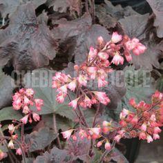 image de Heuchera Bella Notte Heuchera, Horticulture, Floral Wreath, Backyard, Wreaths, Photos, Image, Design, Decor