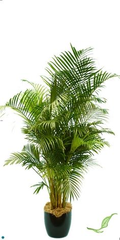 Areca Palm: Requires Bright light, keep the soil moist not wet between weekly waterings. Tropical Plants, Cactus Plants, Best Indoor Plants, Air Pollution, Ceramic Planters, Palm, Bright, Ceramic Pots, Ceramic Flower Pots