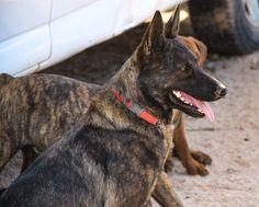 www.elitek-9.com  #dutchshepherd, #protectiondogs, #dutchie, #dutchshepherdsofinstagram, #exotics #vonriesig