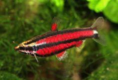 Fishipédia • Poissons • Nannostomus Rubrocaudatus