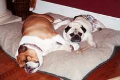 Twinkie the bulldog and Scooter Pie the pug  Photo by Julie Farin