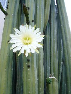 Trichocereus pachanoi - Please consider enjoying some flavorful Peruvian Chocolate. Organic and fair trade certified, it's made where the cacao is grown providing fair paying wages to women. Varieties include: Quinoa, Amaranth, Coconut, Nibs, Coffee, and flavorful dark chocolate. Available on Amazon! http://www.amazon.com/gp/product/B00725K254
