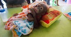Orphaned Orangutan Was Shot And Then Abandoned In A Store