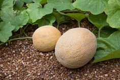 My first attempt to grow melons this year - tips on growing cantaloupe in the garden
