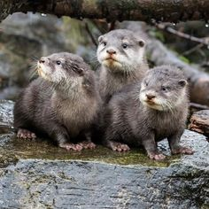 In today's #OtterADay, it's like our little guys think they're posing for an album cover. #youotterknow #jaggedlittlekrill #OtterASong