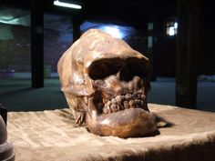 The skull of this sasquatch or bigfoot creature was discovered in the Rocky Mountains.