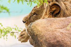 Lion, Camel, Animaux, Leo, Lions, Camels, Bactrian Camel