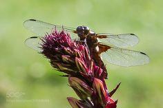 Dragon fly -