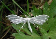 緑草に舞い降りた使徒?真っ白な体で羽毛のような美しいハネをもつ蛾、「ホワイトプルームモス」(昆虫注意) - グノシー
