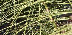 Equisetum, Horse Tails, California Native Plant Montara CA
