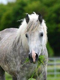 RCHR Fantastic, gray mare, Bashkir curly in Germany