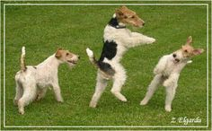 Fox terrier disco. Who did let these dogs out ?