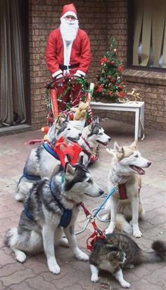 Santa's Siberian Husky Sleigh, oh, and a cat, too! :)