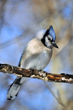Blue Jay - ©Robert Fry (kingarfer) www.flickr.com/photos/wolfpower/5297931205/