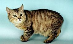 Gato Manx é uma raça de gato sem cauda