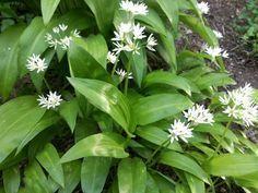 Home Remedies, Natural Remedies, Allium, Healthy, Garden, Weed, Medicine, Movie, Home