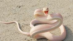Snake, Pink Snake, asphalt, eyes, attack