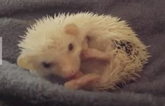 Yawning baby porcupine cuddles up for a nap http://ift.tt/2mwyk5B