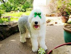 Ariel.... Old English Sheepdog puppy or rescue please call or text 214-448-2888 .... texassheepdogpup@gmail.com....Akc Export for Britz Royal Croft family