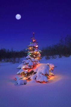 New snow on the Christmas Tree under a new Moon - British Columbia, Canada!