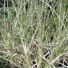 Carex Riparia Variegata-9 cm pots | Flowering Time: April-May |  Height: 60 cm |  Water Depth: 0-2 cm