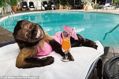 Meal Ticket: At just 18 years old, Crystal the Capuchin monkey has the weight of NBC on her tiny shoulders. She's pictured lounging at Chateau Marmont