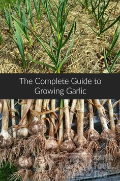 How To Urban Garden Learn how to grow your own garlic at home with this detailed guide. From planting to harvesting and storing, garlic is one of the easiest, vegetables to grow. Winter Vegetables, Organic Vegetables, Growing Vegetables, Growing Plants, Easiest Vegetables To Grow, Growing Tomatoes, Backyard Garden Landscape, Large Backyard, Backyard Ideas