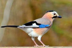 طائر الجي الأوراسي