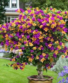 Things to know about Bougainvillias