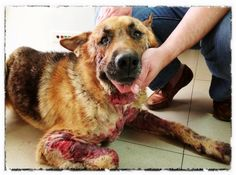 Please help Axel...the dog who crawled out of hell! This is one of the sickest and saddest cases of animal abuse I've ever seen!! PLEASE READ HIS STORY, YOU WILL CRY TEARS OF SADNESS, BUT THEN TEARS OF JOY WHEN YOU SEE HIS RECOVERY!!! THANK GOD HE HAD ANGELS TO LOVE HIM.