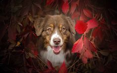 Download wallpapers autumn, dogs, aussie, Australian Shepherd