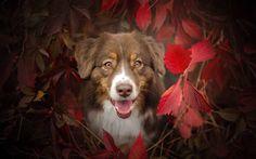 Lataa kuva syksy, koirat, aussie, Australian Shepherd