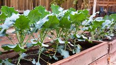 Get broccoli in the ground by late July or early August. Broccoli is hungry and thirsty, so add compost before planting to help the soil hold moisture.