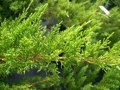 Juniperus chinensis Sea Green