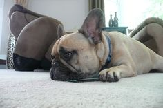 """I'm soooooo bored"", French Bulldog"
