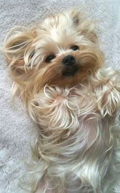 Ahhhh... Yorkie - but looks like a cross between that and a Maltese....so adorable, love the coloring, just beautiful.